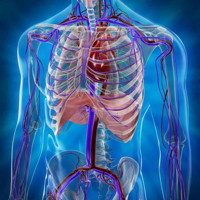 Arterias, Venas y Sistema Linfático - Centro VascularCentro Vascular